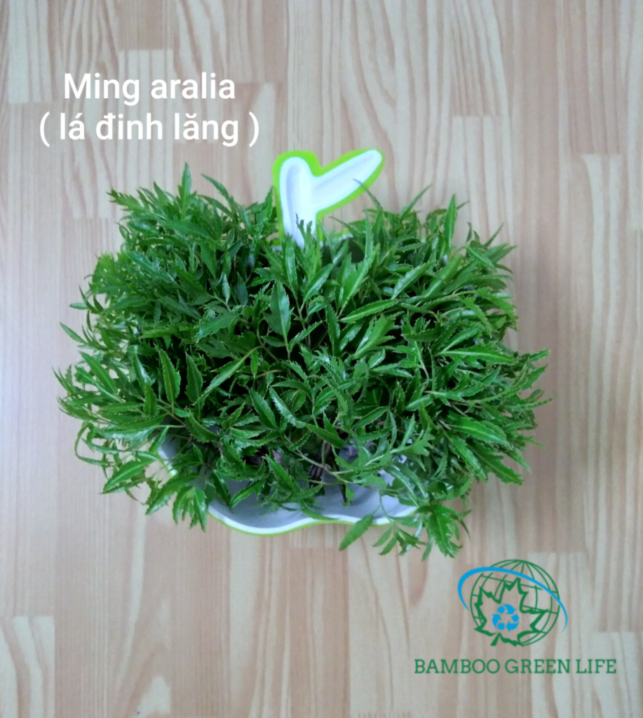 """Ming Aralia – A plant with very strong medicinal properties"""